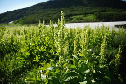 alpine flowers of Mt. Taisetsuzan